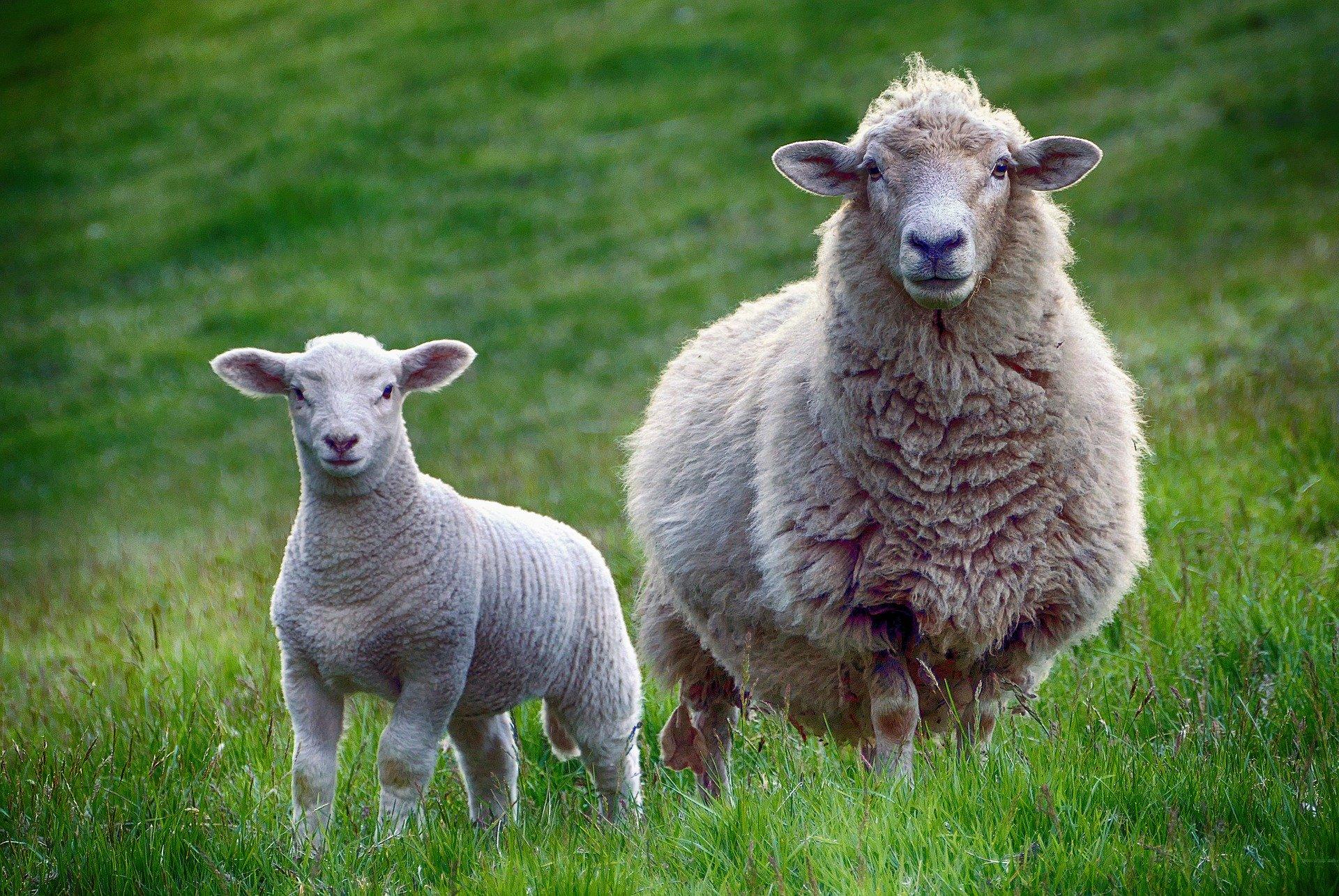Schafe im Heidebad